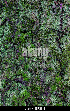 Abstract image of Douglas Fir bark covered in moss - Stock Photo