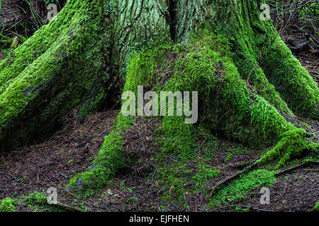 Root structure of a Western Red Cedar tree in a temperate rain forest - Stock Photo