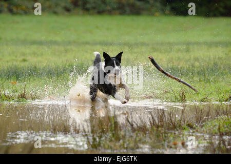 Border Collie Dog running for a stick. - Stock Photo