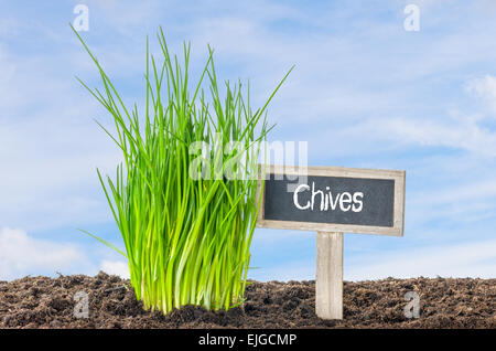 Chives in the garden with a wooden label - Stock Photo