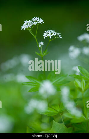 Galium odoratum,Echter Waldmeister,Sweet Woodruff - Stock Photo
