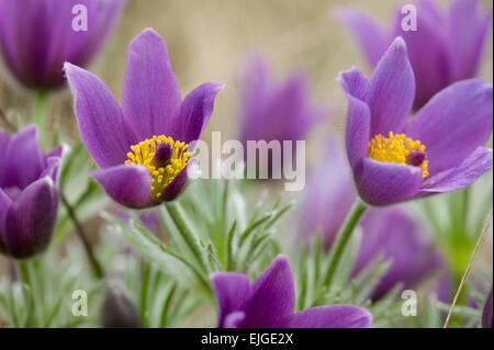 Pulsatilla vulgaris,Gemeine Kuechenschelle,Pasque Flower - Stock Photo