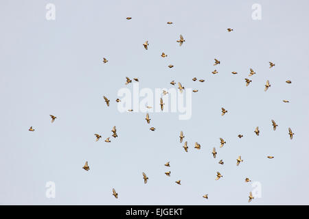 A flock or Charm of Goldfinches, Carduelis carduelis, in Winter, Wales, UK. - Stock Photo