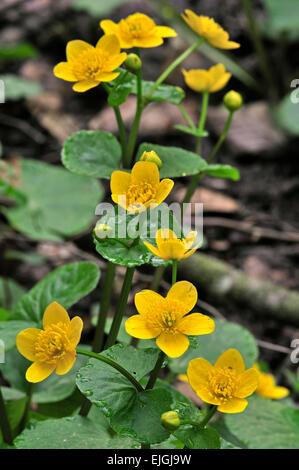 Kingcup / marsh-marigold (Caltha palustris) in flower - Stock Photo