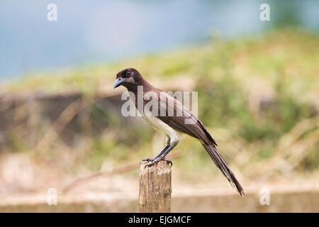 Brown Jay (Psilorhinus morio) adult perched on post, Costa Rica, Central America - Stock Photo
