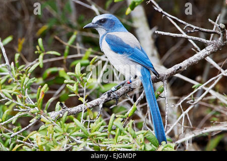Florida Scrub Jay (Aphelocoma coerulescens) adult wearing scientific bands, perched in vegetation, Florida, USA - Stock Photo