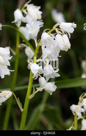 A white form of the hybrid Spanish and English bluebell, Hyacinthoides x massartiana 'Alba' - Stock Photo