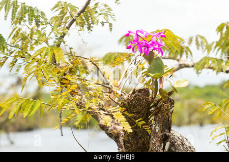 Purple Orchid In Ecuadorian Amazon Jungle - Stock Photo