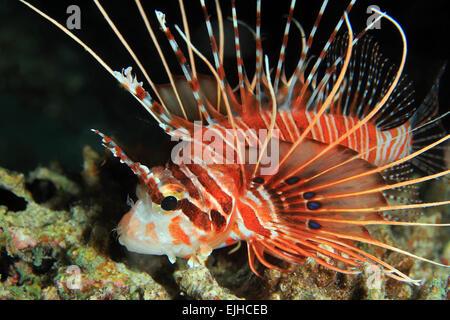 Close-up of a Spotfin Lionfish (Pterois Antennata), South Ari Atoll, Maldives - Stock Photo