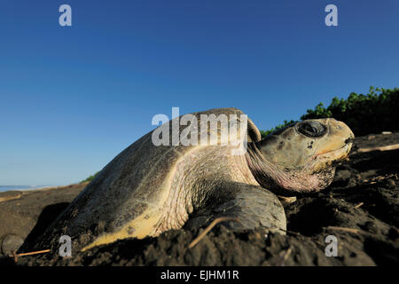 The olive ridley sea turtles (Lepidochelys olivacea)  are famous for their behaviour to nest also during the day. - Stock Photo