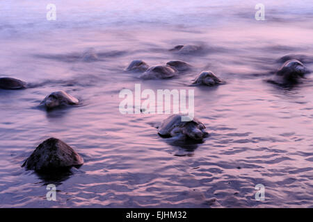 Arrival of  olive ridley sea turtles (Lepidochelys olivacea) at the beach of Ostional, Costa Rica - Stock Photo