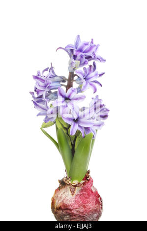 Bulb green leaf shoots and purple flowers of a hyacinth isolated against white - Stock Photo