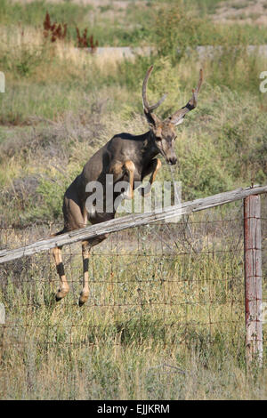 young mule deer buck jumping over a fence - Stock Photo