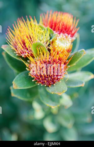 Protea tufted pincushion (Leucospermum oleifolium), Cape Town, South Africa. - Stock Photo