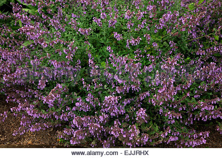 nepeta racemosa catmint stock photo royalty free image. Black Bedroom Furniture Sets. Home Design Ideas