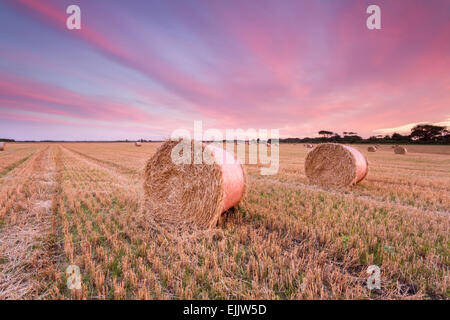 Hay bales, straw bales in a harvested farmer's field at sunset as the sky filled with intense pinks and purples, - Stock Photo
