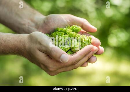 Hop umbels (Humulus lupulus) in hands - Stock Photo