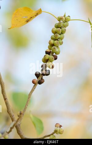beautiful Bodhi Tree (Ficus religiosa) in garden of Thailand - Stock Photo