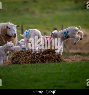 Cute farm animals: The joys of spring - leaping lambs in springtime, UK - Stock Photo