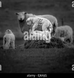 The joys of spring - jumping lambs - Stock Photo
