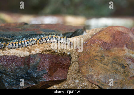 Pine Processionary larvae marching in characteristic fashion, Sierra Fría natural spring, Caceres, Spain - Stock Photo
