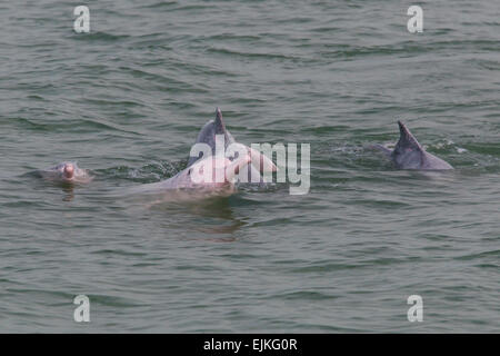 Chinese White Dolphin, Sousa chinensis, Indo-Pacific humpback dolphins playing  Hong Kong - Stock Photo