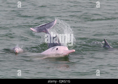 Chinese White Dolphin, Sousa chinensis, Indo-Pacific humpback dolphins playing in Hong Kong - Stock Photo