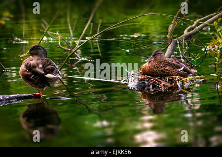 Male and female duck care for their eggs in their river side nest - Stock Photo
