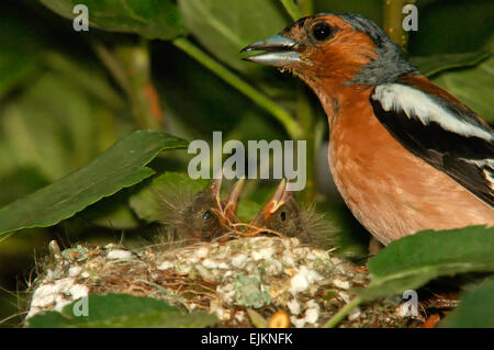 Poland.Bory Tucholskie National Park in June.Moving close the nest of the chaffinch.In the nest the male and two - Stock Photo