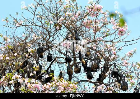 Giant fruit bats in Sri Lanka - Stock Photo