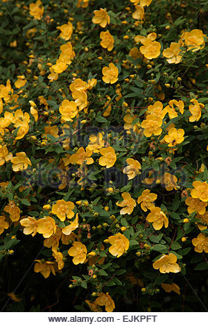 Rose Of Sharon Yellow Flower Bush Stock Photo Royalty