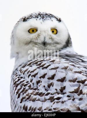 Portrait of snowy owl - Stock Photo
