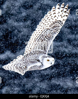 Snowy Owls can be seen roaming fields looking for food during the winter months. - Stock Photo