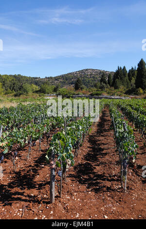 Korcula vineyard Croatia Black grapes on vines at a winery in the Lumbarda region of the island - Stock Photo