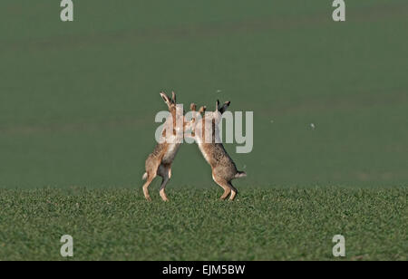 Pair of European Brown (Common) Hares- Lepus europaeus boxing. Uk - Stock Photo