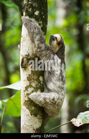 Pale-throated sloth (Bradypus tridactylus), Suriname