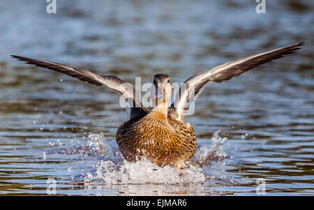 Female mallard (Anas platyrhynchos) landing on water - Stock Photo