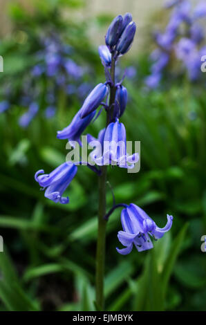 Hyacinthoides, Endymion non-scriptus or Scilla non-scripta is a bulbous perennial plant commonly known as the bluebell - Stock Photo