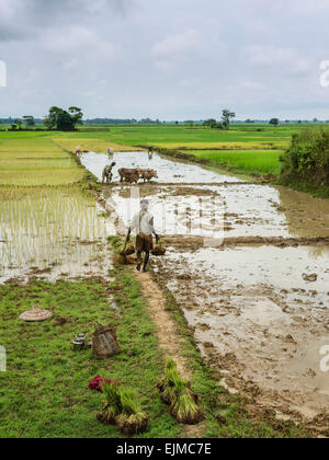 Men and women using traditional wooden plough and oxen plough paddy fields and plant rice saplings in Assam, India. - Stock Photo
