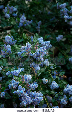 ceanothus arboreus trewithen blue stock photo royalty. Black Bedroom Furniture Sets. Home Design Ideas