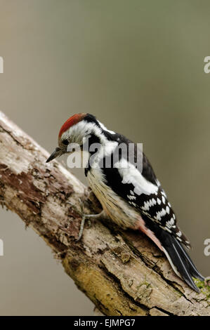 Poland , summer..Middle spotted woodpecker sitting on the branch.He is searching under the bark for insects. - Stock Photo