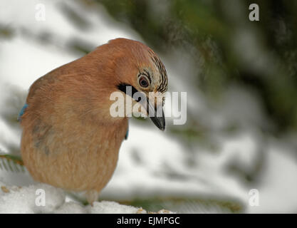Poland in winter.Jay sitting on the snowy branch and looking for food.Horizontal view.It is a Jay portrait - Stock Photo