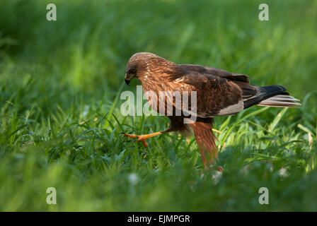 Poland in May.Marsh harrier male,going all over the meadow.Left side view. - Stock Photo