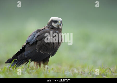 Poland in May.Female of the marsh harrier in the mating colour on the meadow. - Stock Photo