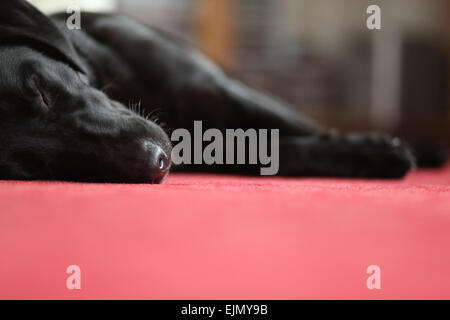 A young, black Labrador Retriever (female, 18 month old) sleeping on the carpet in the living room. Germany. - Stock Photo