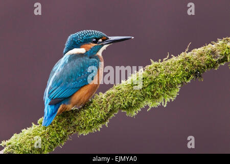 Common Kingfisher (Alcedo atthis) adult standing on branch, England - Stock Photo