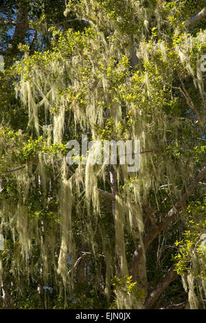 Tree's dandruff (Usnea) on a tree, Tsitsikamma National Park, South Africa - Stock Photo