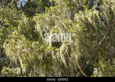 Tree's dandruff (Usnea) on a tree, Tsitsikamma National Park, South Africa - Stock Photo