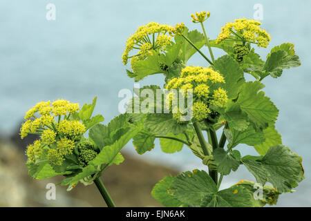 Smyrnium olusatrum L, common name Alexanders, a cultivated flowering plant, growing on the coast of Cornwall, England, - Stock Photo