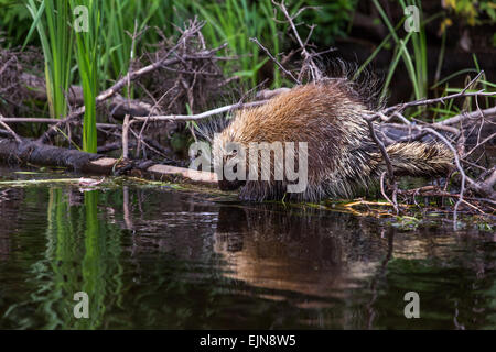 North American Porcupine on the Flambeau River - Stock Photo